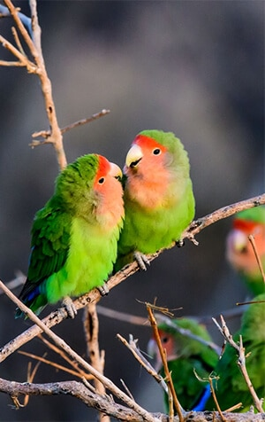 Two lovebird parrots in nature.
