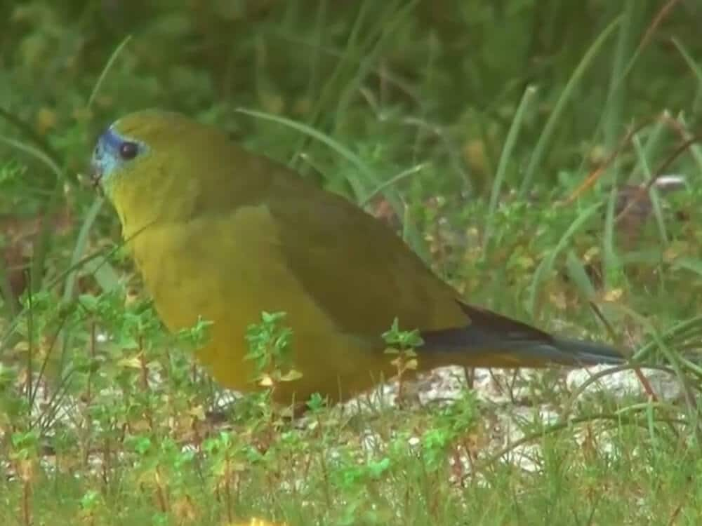 Rock parrot in nature.
