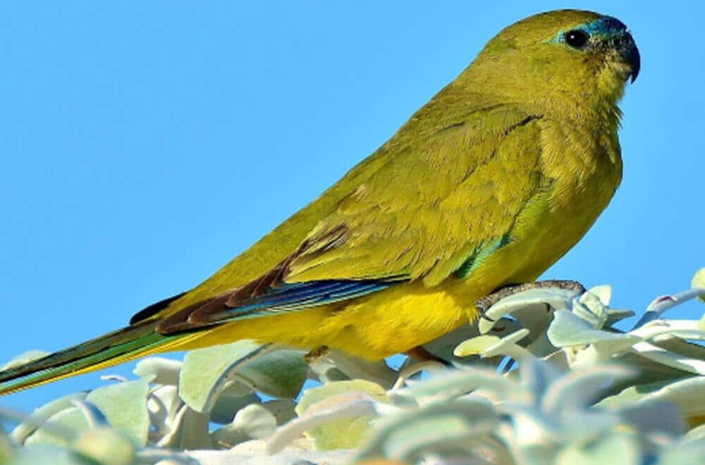 Rock parrot – The chubby little bird