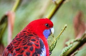 A Rosella Parrot in nature
