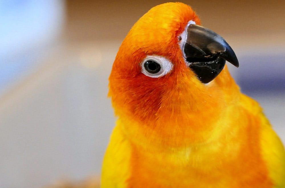 Sun Conure Parrot – Aratinga solstitialis