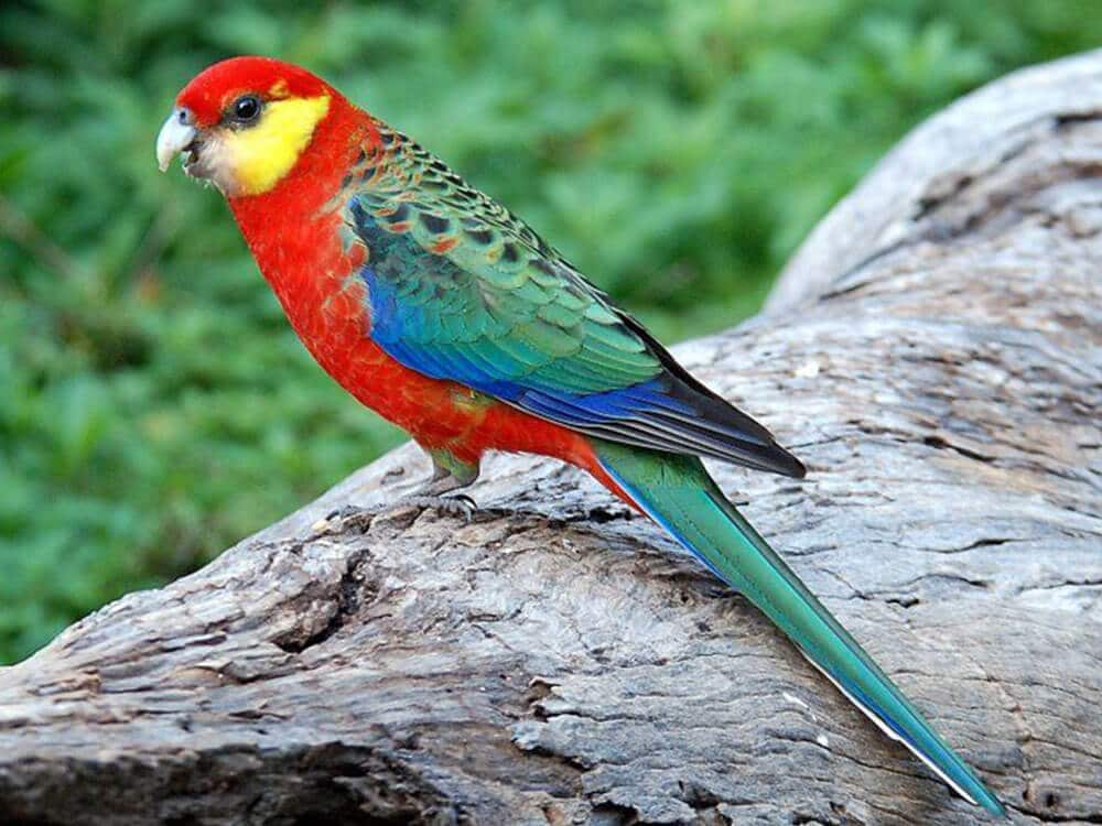 Western Rosella parrot sitting on a tree branch.