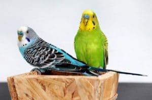 Two budgies sitting on a wooden object.