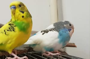 Two budgie sitting on cage. Papoy and Perus.