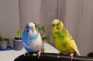 Two budgies sitting on a chair.